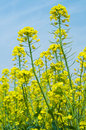 Free Rape Flower Stock Photography - 13825692