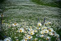 Free Green Chamomile Fied. Royalty Free Stock Photography - 13826307