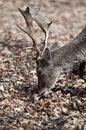 Free Fallow Deer - Dama Dama Stock Photo - 13827810