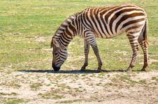Free Zebra Royalty Free Stock Photo - 13820335