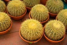 Free Cactuses In Pots Stock Photography - 13820922
