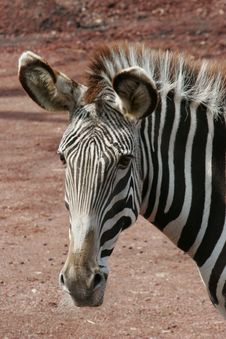 Free Zebra (face) Stock Photo - 13821050