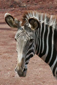 Zebra (face) Stock Photo