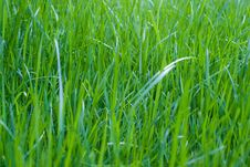 Free Grass Royalty Free Stock Images - 13821119