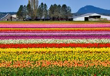 Free Colorful Tulip Farm Stock Images - 13821464