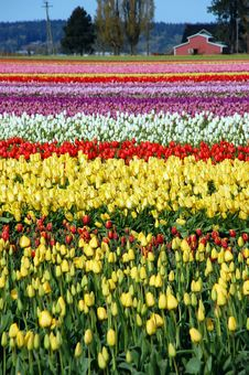 Free Colorful Tulip Farm Royalty Free Stock Photo - 13821475