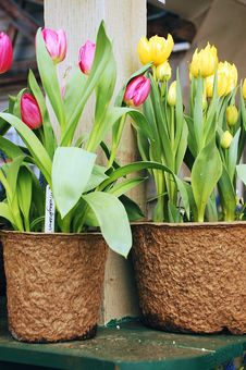Free Pink And Yellow Tulips Stock Images - 13821524