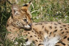 Free Serval Cat Stock Photos - 13821533
