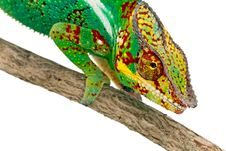 Free Colorful Male Chameleon Stock Photo - 13821840