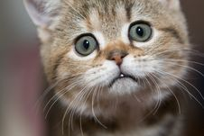 Free Gray Cat Royalty Free Stock Photography - 13822017