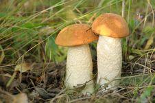 Free Orange-cap Boletus Royalty Free Stock Images - 13822269