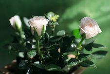 Gentle-pink Blooming Roses
