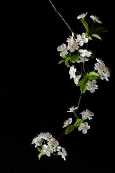 Free Cherry Flowers Stock Photo - 13823430