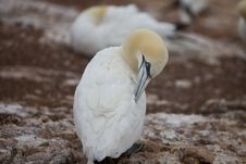 Free The Gannet Stock Photo - 13823840