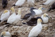 Free The Gannets Place Royalty Free Stock Photography - 13823847