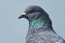 Free Pigeon Head Stock Images - 13824144
