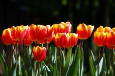Free Softly Colored Red-yellow Tulips Stock Image - 13824191