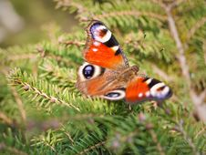 Free Beautiful European Butterfly Inachis Royalty Free Stock Photography - 13824227