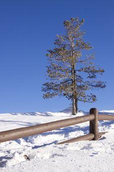 Free Pine Tree Royalty Free Stock Photos - 13825878
