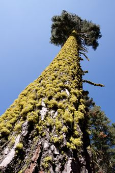 Free Tall Tree Trunk With Moss Stock Photography - 13825902