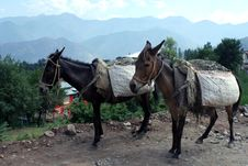 Free Two Burded Horses In Kashmir. Royalty Free Stock Photo - 13826165