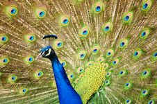 Free Peacock Dance Royalty Free Stock Image - 13826626