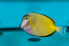 Free Purple And Yellow Tang Royalty Free Stock Photography - 13827087