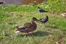 Free The Duck And The Crow Royalty Free Stock Photos - 13827768