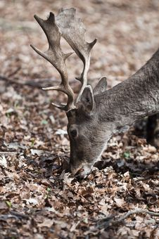 Fallow Deer - Dama Dama Stock Photo