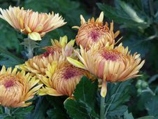 Free Flower Of A Chrysanthemum Royalty Free Stock Image - 13828476