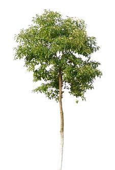 Free Tree Royalty Free Stock Photo - 13828785