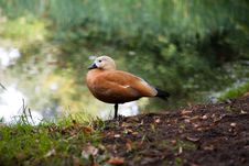 Free Duck Near Water Royalty Free Stock Image - 13829196