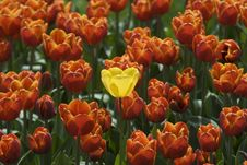Free Beautiful Tulips Stock Image - 13829751