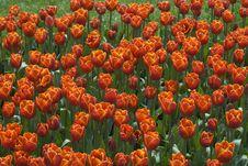 Free Beautiful Tulips Royalty Free Stock Image - 13829886