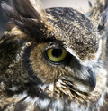 Free Great Horned Owl Stock Photo - 13833640