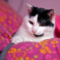 Free Black And White Cat Playing With Cord Royalty Free Stock Photography - 13834277