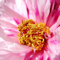 Free Peony Flower Stock Images - 13834554