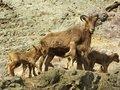 Free Barbary Sheep - Ammotragus Lervia Royalty Free Stock Images - 13835729