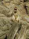 Free Barbary Macaque Yawning Stock Images - 13835744