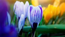 Free Crocus Stock Photography - 13830142