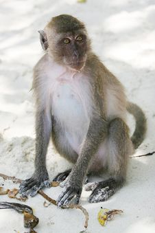Free Monkey Royalty Free Stock Image - 13831106
