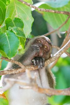 Free Monkey Royalty Free Stock Photo - 13831155