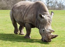 White Rhinoceros Grazing In A Green Field Royalty Free Stock Images