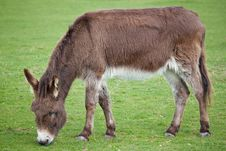 Free Donkey Grazing In A Field Royalty Free Stock Photos - 13831788