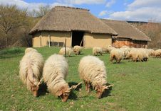 Free Sheep Stock Photos - 13832483