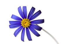 Free Violet Daisy In The Springtime,isolated On White Royalty Free Stock Images - 13833239