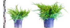 Free Junipers In A Pot Stock Photos - 13833303