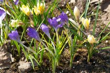 Free Bright Crocuses In Spring Royalty Free Stock Photos - 13834058