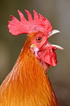 Red Rooster Bird In Closeup Stock Photo