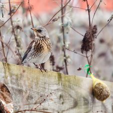 Fieldfare Bird Sitting On A Fence Royalty Free Stock Photography